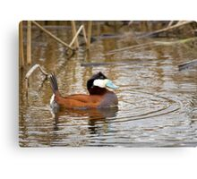 Ruddy Duck Canvas Print