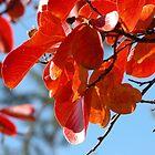 Colours, Crepe Myrtle in Autumn, Tumut, Australia. by kaysharp