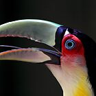 Red Breasted Toucan Portrait at Iguassu, Brazil by Carole-Anne