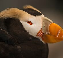Tufted Puffin by SusanAdey