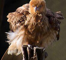 Whistling Kite by GayeLaunder Photography