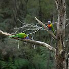 Rainbow Lorikeets (Trichoglossus haematodus) - Waterfall Gully, South Australia by Dan & Emma Monceaux