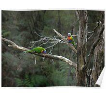 Rainbow Lorikeets (Trichoglossus haematodus) - Waterfall Gully, South Australia Poster