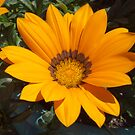Yellow Gazania by vivsworld