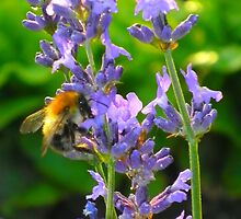 Bumble bee on lavender by ©The Creative  Minds