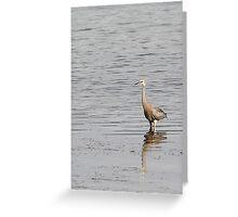 White-faced Heron Greeting Card