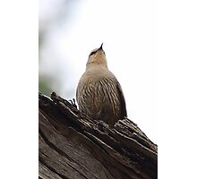 Brown Treecreeper Photographic Print