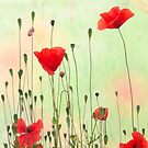 Poppies by natans