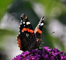 Red Admiral on Buddleja ~ July 2011 by Samantha Creary