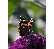 Red Admiral on Buddleja ~ July 2011 Photographic Print