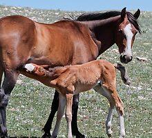 Stallion Colt Nurses by Ken McElroy