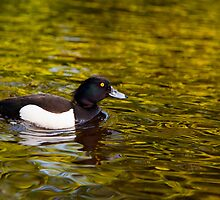 Tufted Duck by Stephen Lawlor