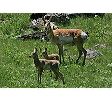 Twin Antelope Fawns Photographic Print