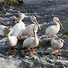 Pretty Pelican by TaraHG
