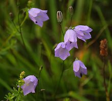 Harebells, Manfield Scar, River Tees, England by Ian Alex Blease