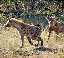 HYAENA ON THE HUNT - Spotted Hyaena - Crocuta crocuta by Magaret Meintjes