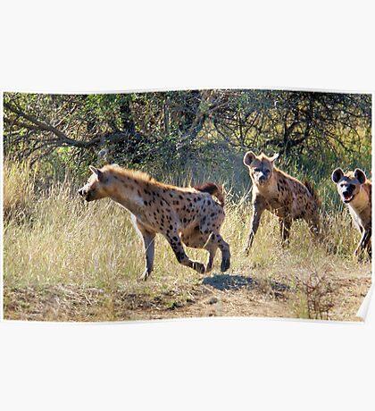 HYAENA ON THE HUNT - Spotted Hyaena - Crocuta crocuta Poster