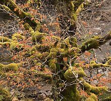 Old Oak by Christopher Cullen