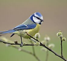 Blue tit on Pussy Willow by M.S. Photography & Art