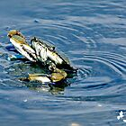Blue Crab Pop Out of the Water by TJ Baccari Photography
