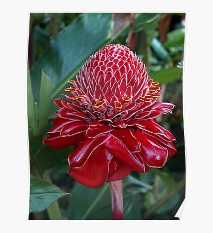 Torch Ginger, Costa Rica Poster