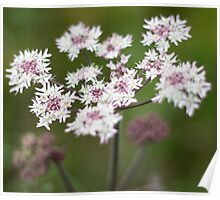 Soft Focus Cow Parsley Poster