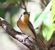 leaden flycatcher by birdpics