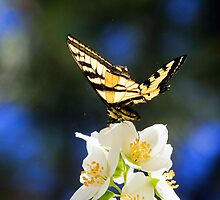 Swallowtail Butterfly on Syringa  by amontanaview