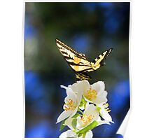 Swallowtail Butterfly on Syringa  Poster