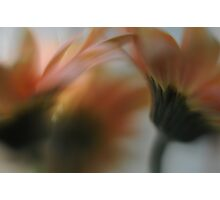 gerberas in bloom Photographic Print