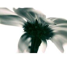 dahlia from below Photographic Print