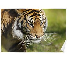 Tiger's Whiskers Poster