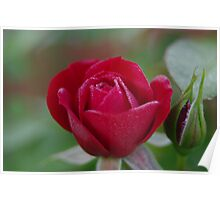 Dew drops on roses Poster