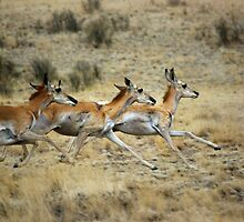 Antelope Wild and Free ~ Sierra Co, New Mexico by Vicki Pelham