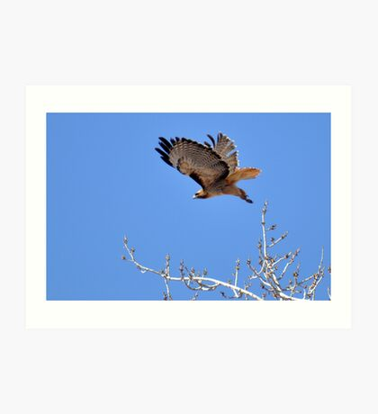 redtailed hawk flying from tree Art Print