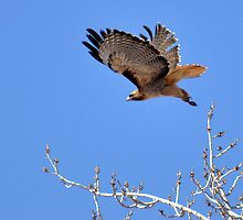 redtailed hawk flying from tree by gene mcfarland