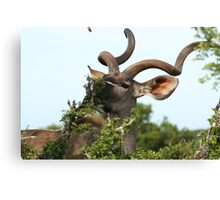 Kudu eating - Addo Elephant Park - South Africa Canvas Print