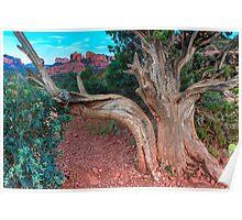 Old Juniper Tree Sedona Poster