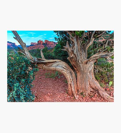 Old Juniper Tree Sedona Photographic Print