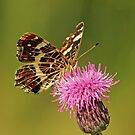 Thistle & Butterfly by Robert Abraham