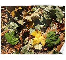 Top view of the green, yellow and brown maple fallen leaves Poster
