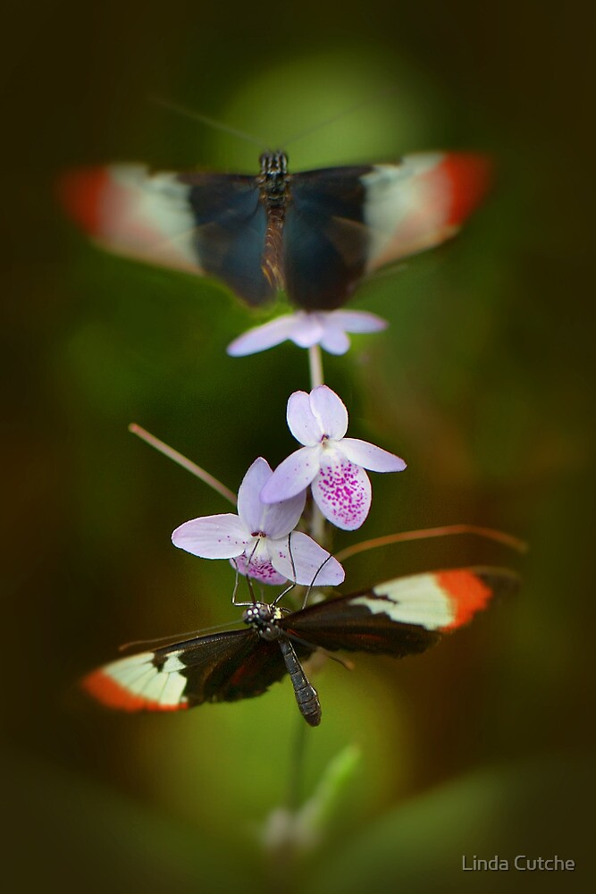 Dance of the Butterflies by Linda Cutche