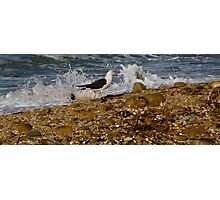 Pacific Gull (Larus pacificus) Photographic Print