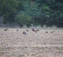 Wild Turkeys by zpawpaw