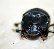 Dung Beetle - Costa Rica by Jason Weigner