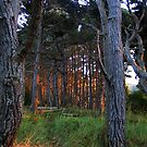 Trees in Sunset Light by RoySorenson