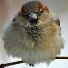 Winter sparrow by Natalia1380