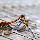 Common Darter dragonflies mating by Hugh McKean
