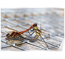 Common Darter dragonflies mating Poster