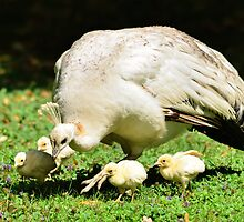 Looking for Australia (White Peafowl) by Steve